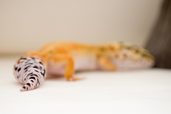 © Alice G Patterson Photography | Leopard Gecko tail, Syracuse pet photographer, studio pet photography