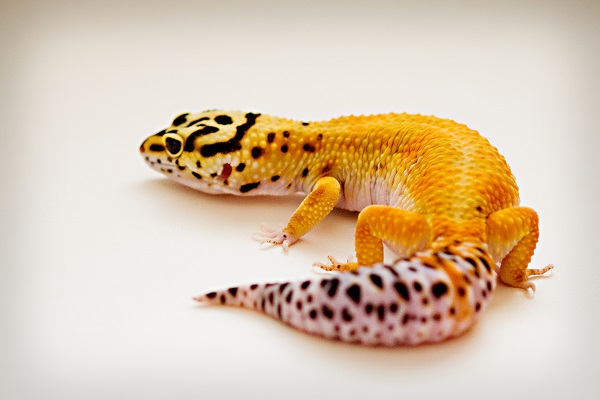 © Alice G Patterson Photography | Syracuse Pet Photography, leopard gecko, Central New York studio pet photographer