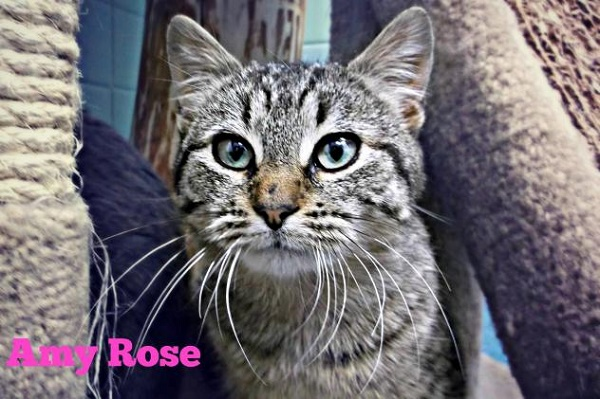 Adoptable-Cat Stevens - Swan Humane Society Inc