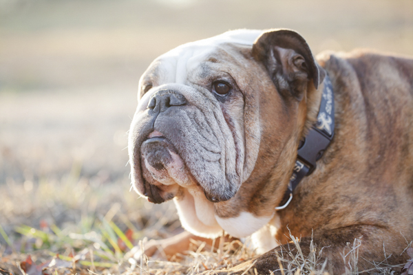Handsome English Bulldog