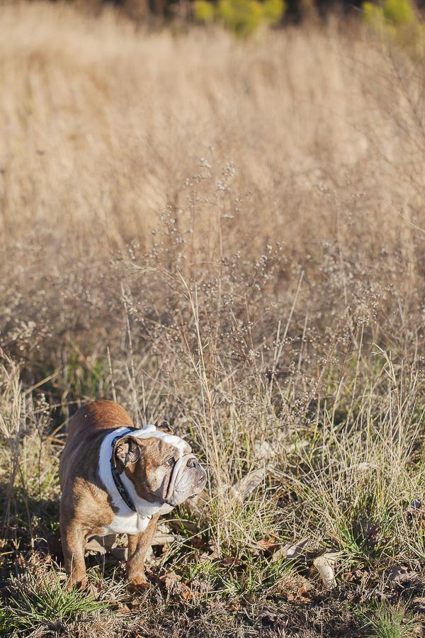 © Casey Hendrickson Photography |  English Bulldog in field, on-location-pet-portraits