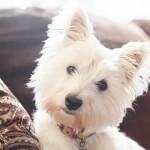 West-Highland-Terrier, lifestyle-dog-photography