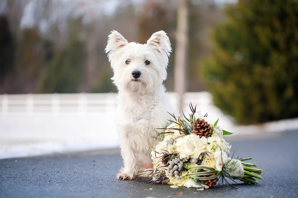 © Casey Hendrickson Photography | West-Highland-Terrier, lifestyle-dog-photography, wedding-dog