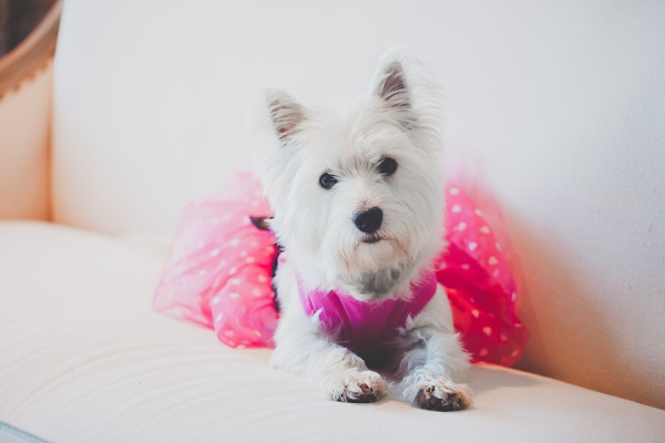 © Casey Hendrickson Photography | West-Highland-Terrier, lifestyle-dog-photography, dog-in-pink-dress