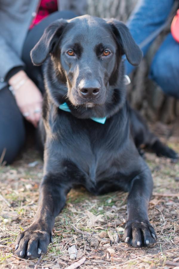 © Cassady K Photography   Fall-engagement-photos, Black-Lab, Handsome-dog, Westchester-engagement-portraits