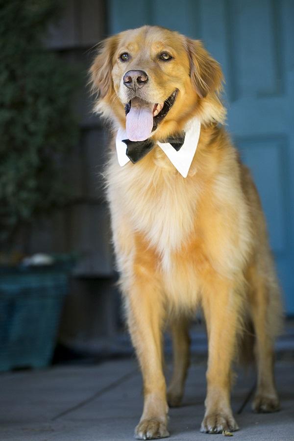© Jules Bianchi Photography | Handsome-Golden-Retriever, wedding dog, Best Dog
