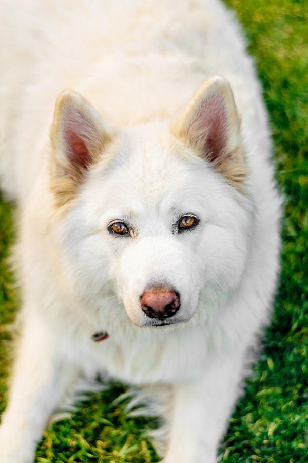 © Lebolo Photography  | White Husky Alsatian  mix, gorgeous dog, lifestyle-dog-photography