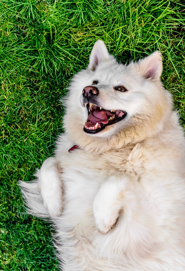 © Lebolo Photography  | White Husky Alsatian  mix, happy dog on grass