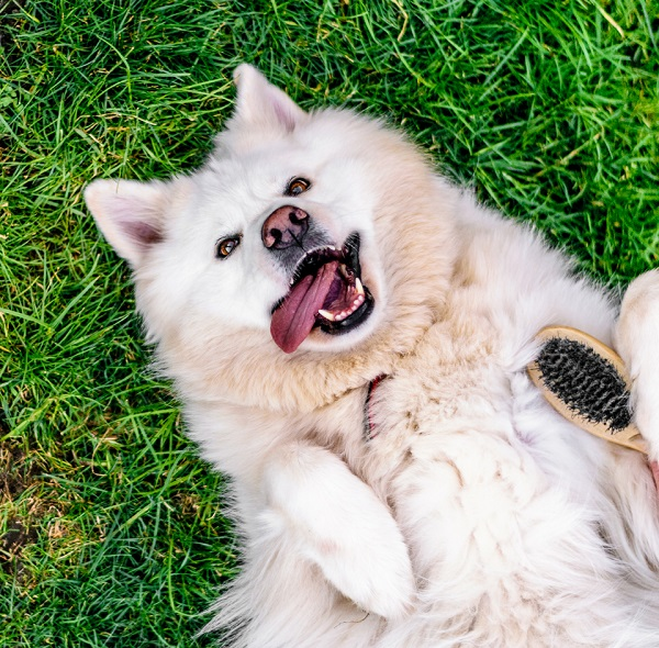 © Lebolo Photography  | White Husky Alsatian  mixed breed lying on grass with brush, dog on back, tongue out