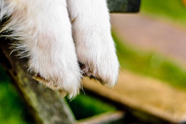 © Lebolo Photography  | White Husky Shepherd  mixed breed, dog paws