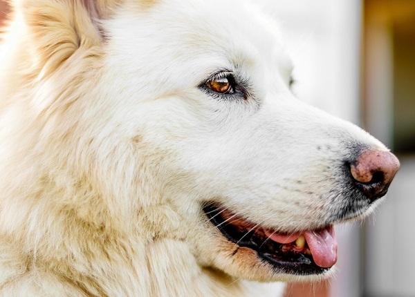 © Lebolo Photography  | White Husky Shepherd mix, lifestyle-dog-photographer
