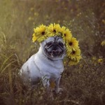 Pug wearing sunflower crown