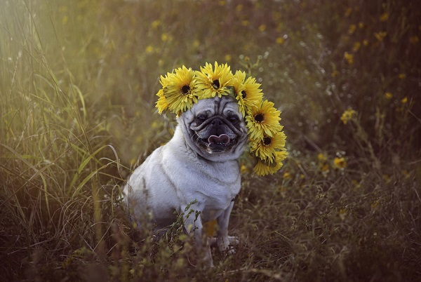 © Mila Jackson Photography | Pug wearing  sunflower crown, on location dog photography