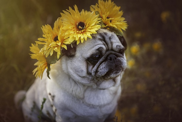 © Mila Jackson Photography | Pug wearing sunflower crown