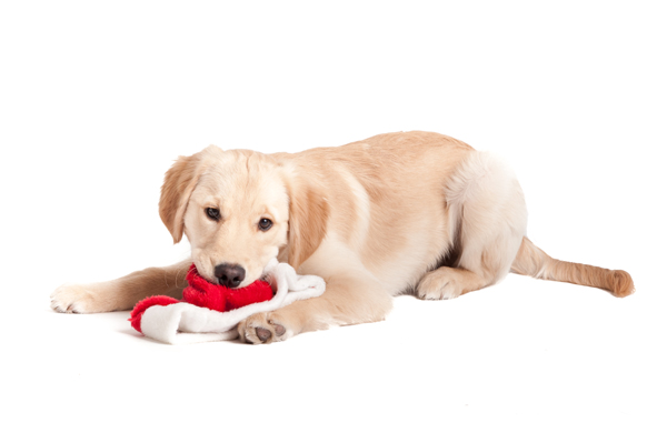 © Alice G Patterson Photography |Golden-retriever-puppy-chewing-Santa-hat