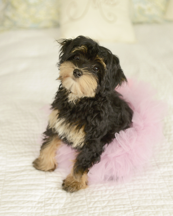 © Ashlee Mintz Photography | Havannese  puppy wearing tutu, Haverford pet portraits, lifestyle dog photography, puppy love