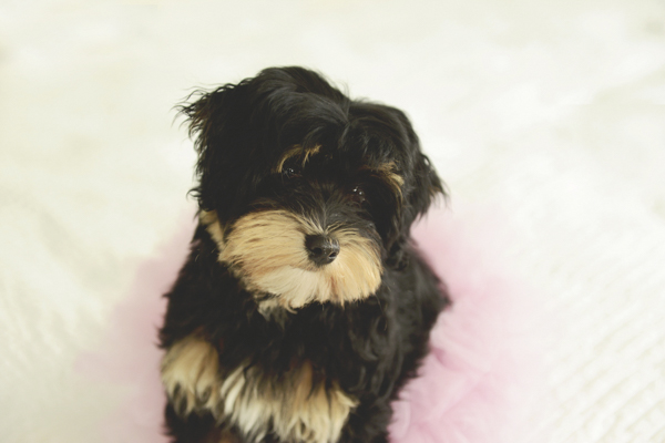 © Ashlee Mintz Photography | Havanese puppy. lifestyle-pet-photography