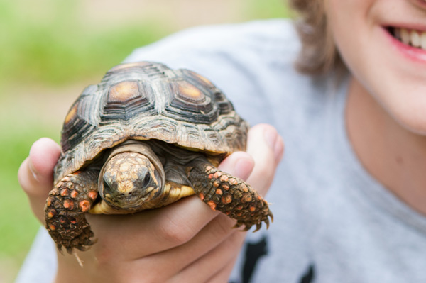 Happy Tails:  Tato, the Red Footed Tortoise  #ReptileCare