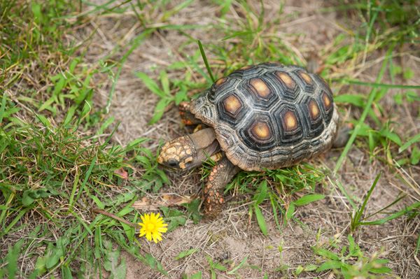 © Alice G Patterson Photography |  red footed eating dandelion, tortoise outside,  Syracuse-on location pet