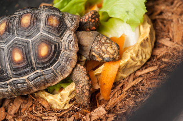 © Alice G Patterson Photography  | Tortoise eating vegetables, lifestyle pet photography
