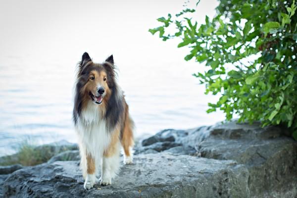 © Posh Pets Photography | Daily Dog Tag |Shetland Sheepdog