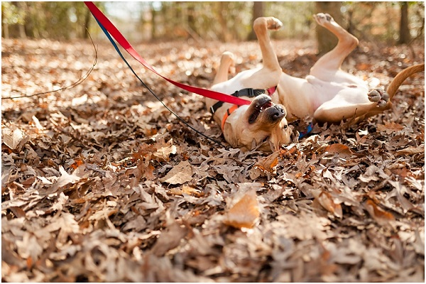 Foster-dog, fostering-matters, lifestyle-dog-photography, happy dog rolling in leaves