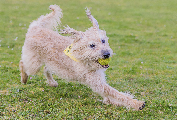 © Lebolo Pet Photography| on-location-lifestyle-dog-photography, lurcher-terrier-cross, scruffy dog,