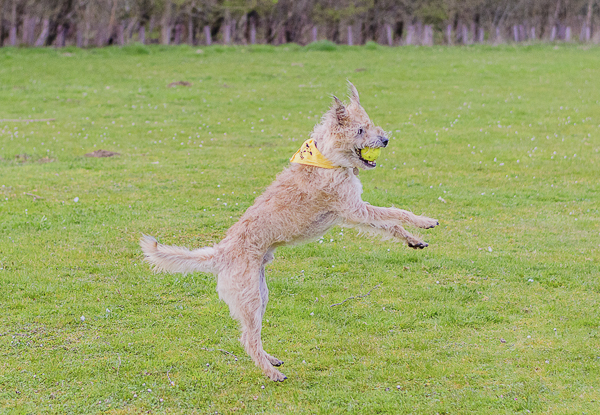 © Lebolo Pet Photography| UK lifestyle-dog-photography, dog jumping with ball, dog in yellow bandanna, sighthound-terrier-mix