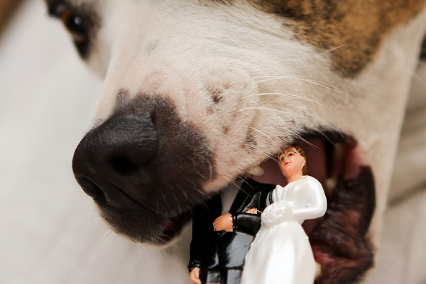 © Love My Life Photography | pittie,  wedding dog, dog eating cake topper