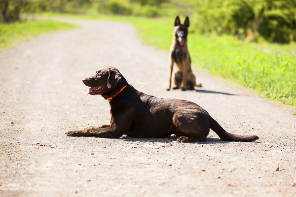 © Meghan Thomas Photography | well trained dogs, Chocolate Labrador Retriever, Belgian Malinois