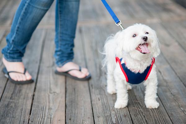 Maltese in nautical t-shirt, Nautical styled dog photos, Syracuse Pet Photography, Lock 24 dock