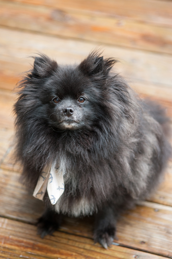 © Alice G Patterson Photography | dog wearing nautical scarf, dogs on the dock, Syracuse dog photographer, Pomeranian
