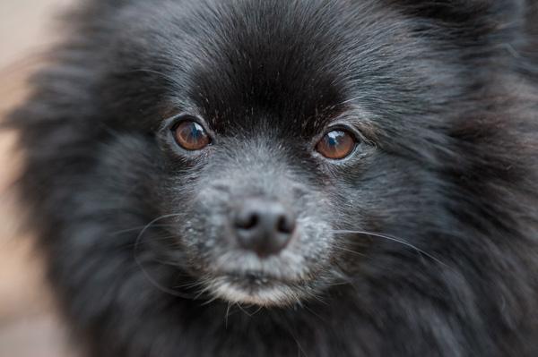 Daily Dog Tag- DIY Projects for Dog Lovers, Black Pomeranian close up, dog eyes, Syracuse dog photographer