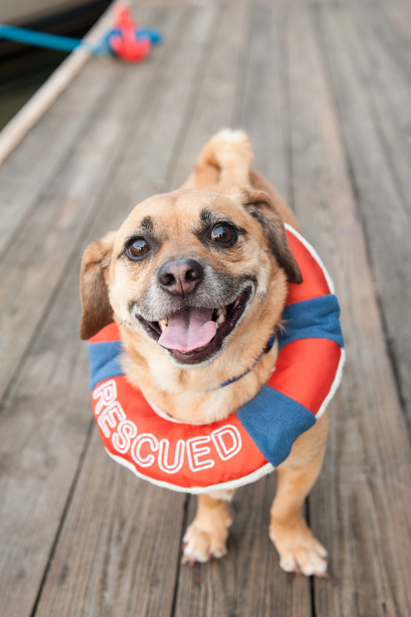 Rescued Puggle wearing Rescued lifesaver toy, Central New York Dog Photographer, Nautical styled shoot with dogs