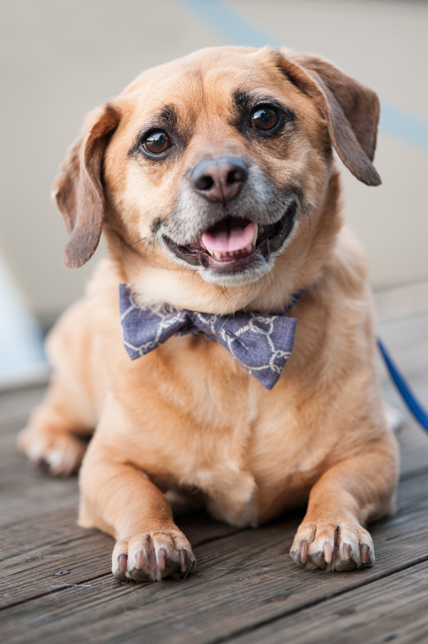 © Alice G Patterson Photography | Handsome Puggle wearing DIY bow tie, Syracuse Dog Photography, nautical styled dog photography session