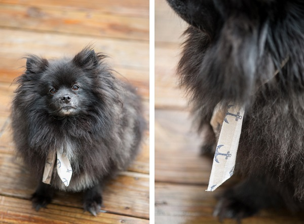 © Alice G Patterson Photography | Nautical-Styled-Dog-Pictures-Fourth-of-July-Daily-Dog-Tag-Black_Pomeranian-wearing-scarf