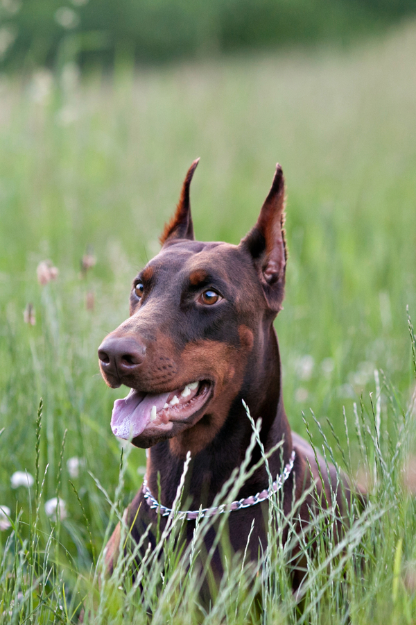 © Paw Prints - Custom Pet Portraits by Charlene | on location pet photography, Doberman in tall grass