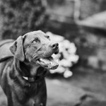 handsome-chocolate-lab-mix, engagement photos with dog