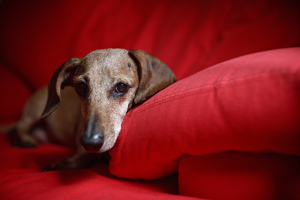 © FidoJournalism Pet Photography |Daily Dog Tag |sweet -senior-Doxie