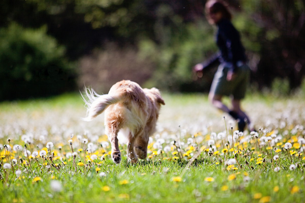 © Happy Tails Pet Photography | Daily Dog Tag | Blind-Golden Retriever -dandelion-field