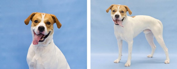 Adoptable dog, available from Orange County Animal Services.