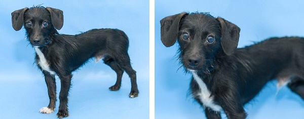 © Pawsitive Shelter Photography    Adopt Buzz from Orange County Animal Services, Orlando, FL.  Scruffy puppy available for adoption