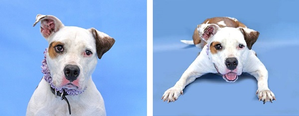 © Pawsitive Shelter Photography    Calypso is  available from Orange County Animal Services, Orlando, FL.