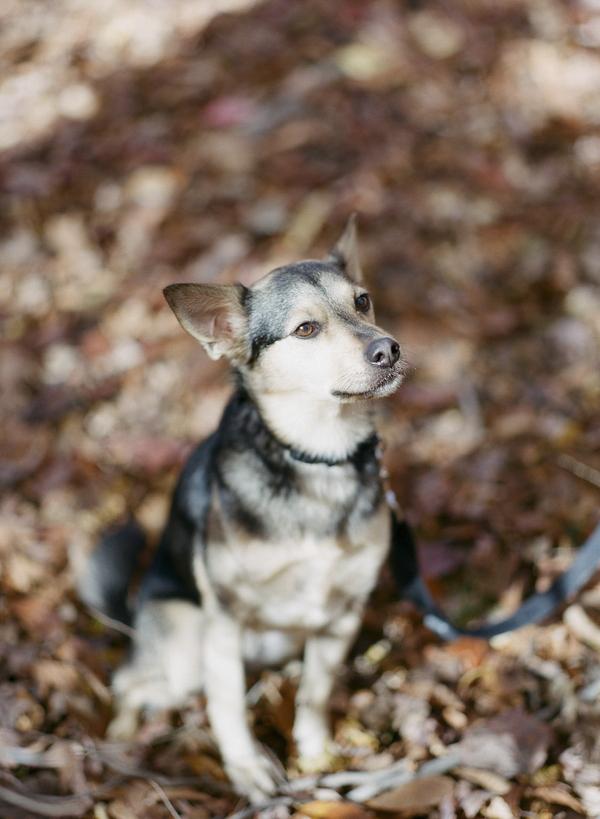 © Allison Mannella Photography | handsome dog in leaves, fall dog photos