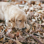 Golden Retriever Puppy playing in leaves