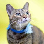 adoptable cat from Orange County Animal Services, Orlando, FL
