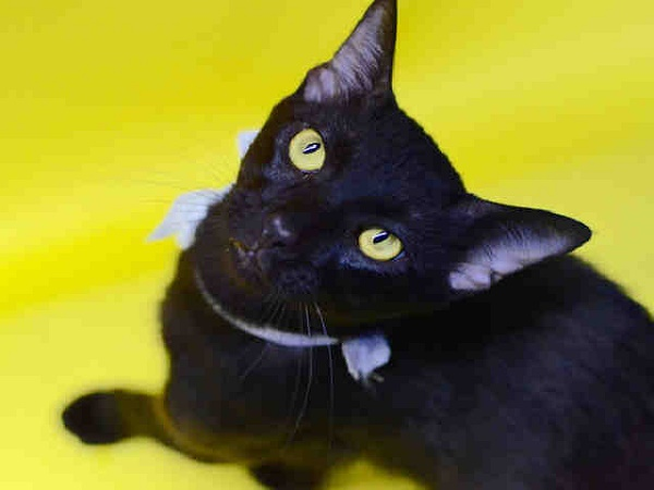 © Pawsitive Shelter Photography | adoptable black cat from Orange County Animal Services, Orlando, FL