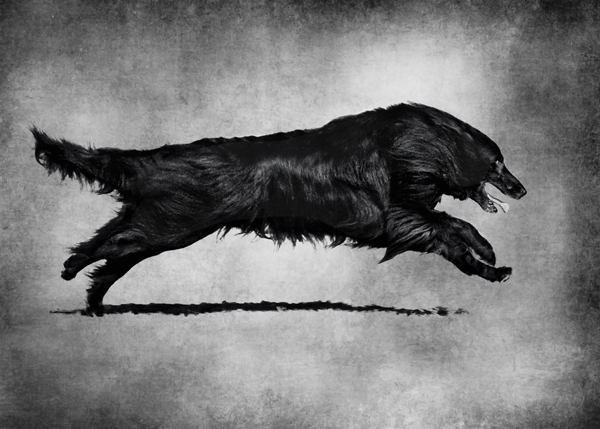 © Wolf Shadow Photography | Daily Dog Tag | Black dog running