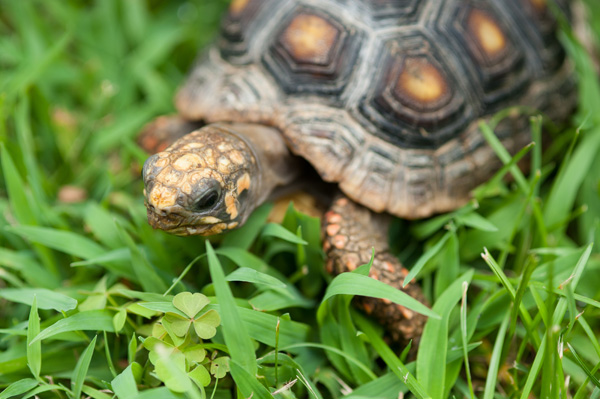© Alice G Patterson Photography | Red Footed Tortoise grazing in summer, on location pet photography, B-ville tortoise photographer