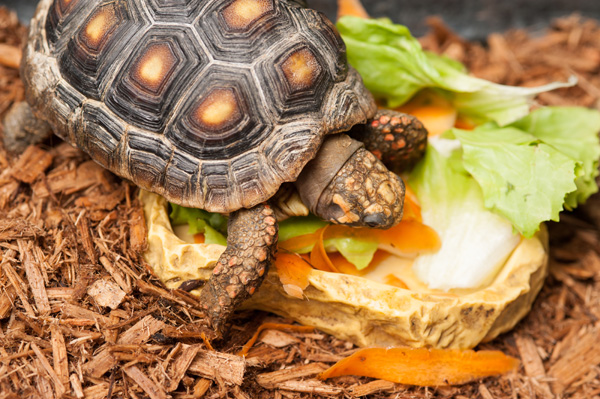 © Alice G Patterson Photography | Caring-For-Your-Tortoise-By-The-Daily-Dog-Tag, Tortoise eating veggies